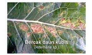 Fungisida Untuk Bercak Daun Alternaria pada Kubis