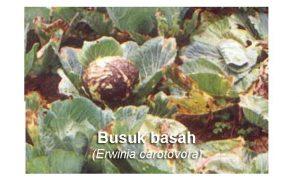 Fungisida untuk Busuk Basah pada Kubis