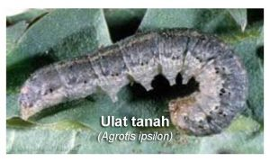 Insektisida yang Ampuh Untuk Ulat Tanah Kubis