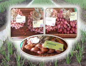 Jenis-jenis BAWANG MERAH yang Cocok Dibudidayakan Dilahan GAMBUT
