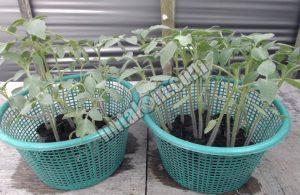 Cara Menanam Tomat Hidroponik Sederhana