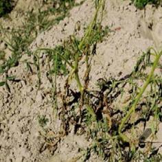 8 Tips Ampuh Mengendalikan Layu Fusarium pada Kentang