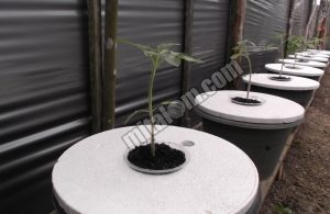 Tips Menanam Tomat Hidroponik Sistem Sumbu