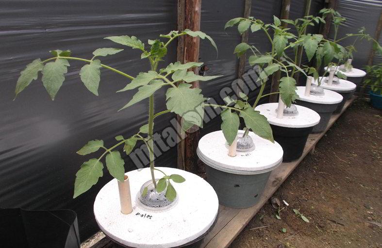 16 Cara Mudah Menanam Tomat Hidroponik Sederhana Sistem