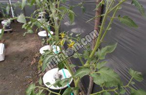 Cara Merawat Tomat Hidroponik Sistem Wick
