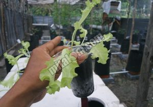 Cara Menanam Selada Hidroponik Sistem Sumbu