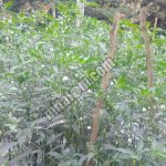 9 Sebab Utama Bunga dan Buah CABAI RONTOK serta Cara Mengatasinya