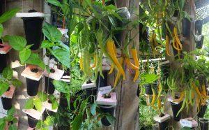 Cara Sederhana Menanam Cabai Vertikultur Hidroponik di Tiang Bangunan