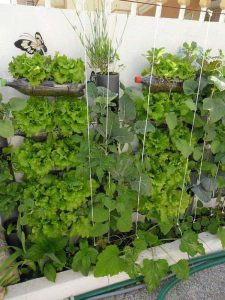 Berkebun Sayuran Vertikultur Botol Bekas di Tembok Rumah