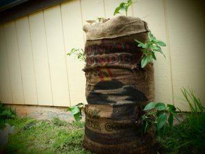 Memanfaatkan Karung Goni Bekas Untuk Berkebun Vertikultur