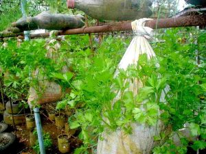 Menanam Sayur Seledri Vertikultur di Karung Bekas