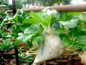Menanam Sayur Sawi Vertikultur di Karung Goni Bekas