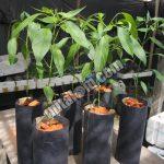 Panduan Lengkap Cara Sederhana Menanam CABAI HIDROPONIK Sistem Sumbu di BOTOL BEKAS Air Mineral