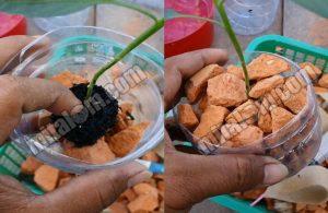 Cara Menanam Bibit Cabai Hidroponik