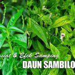 Efek Samping, Khasiat dan Cara Pemakaian DAUN SAMBILOTO untuk Pengobatan