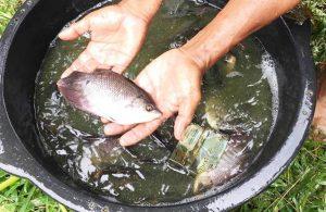Jenis-jenis Hama dan Penyakit Ikan