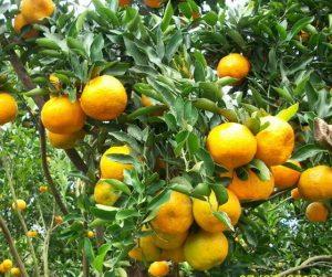 Cara Ampuh Mengendalikan Penyakit Busuk Batang Jeruk dan Busuk Akar Tanaman Jeruk