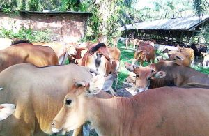 Pedoman Teknis Optimalisasi Reproduksi & Penanganan Gangguan Reproduksi Pada Ternak Sapi dan Kerbau