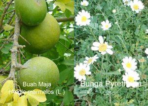 Bahan Pestisida Nabati Buah Maja dan Bunga Pyrethrum