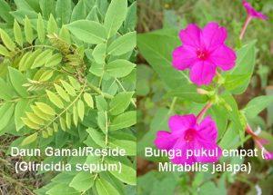 Pestisida Organik Daun Gamal dan Bunga Pukul Empat