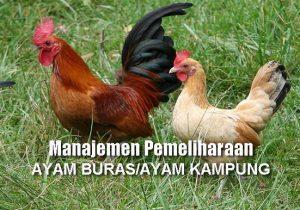 Manajemen Pemeliharaan AYAM BURAS (Ayam Kampung) Petelur dan Pedaging untuk Hasil Maksimal