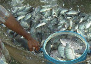 14 Cara Budidaya Ikan Nila agar Cepat Besar dan Cepat Panen