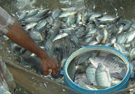 12 Panduan Cara Budidaya Ikan Nila Di Kolam Tanah Dari Awal Hingga Panen