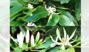 99 Fakta Mistis Bunga Kantil yang Menyeramkan