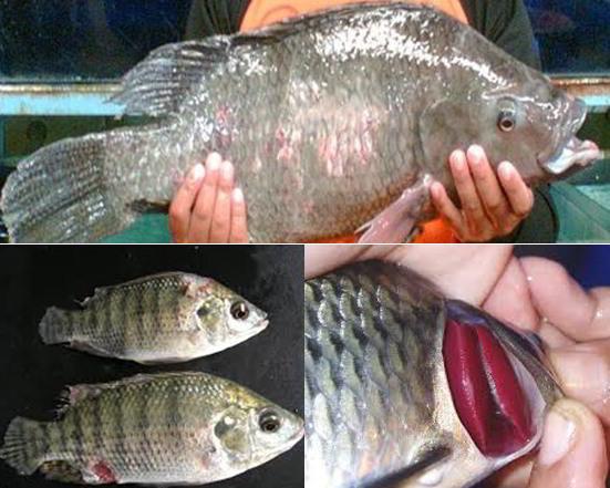10 Jenis Hama Dan Penyakit Ikan Nila Dan 12 Tips Cara Pengendaliannya