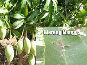 Cara Pengendalian Hama Wereng pada Tanaman Mangga