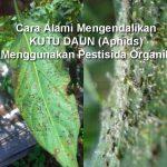 20 Cara Alami Mengendalikan KUTU DAUN Aphids Menggunakan Pestisida Organik