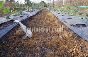 Cara Mudah Membasmi Rumput Belulang