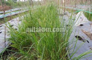 14 Jenis Herbisida yang Ampuh Membasmi Rumput Lulangan
