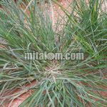 Cara Jitu Pengendalian RUMPUT BELULANG (Eleusine indica) Rumput Lulangan Dijamin Mati Total