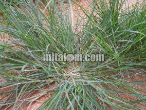 Cara Ampuh Mengendalikan Rumput Eleusine indica