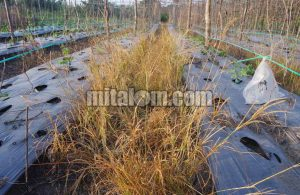 Cara Ampuh Membasmi Rumput Belulang Lulangan