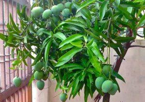 7 Cara Jitu Mengendalikan Penyakit pada Tanaman Mangga