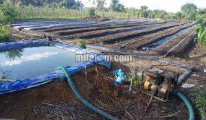 Cara Pemasangan SELANG DRIP (Drip Irigasi Tetes) di Lahan Pertanian