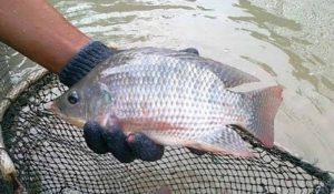 Cara Budidaya Ikan Nila agar Cepat Panen dan Cepat Besar