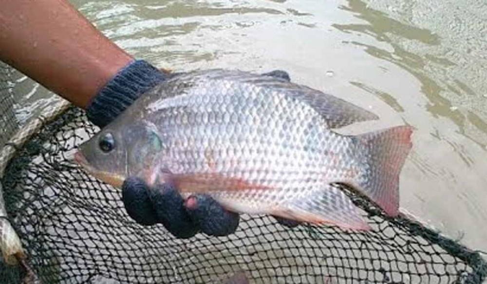 6 Tips Memelihara Ikan Nila Supaya Cepat Besar Dan Cepat Panen