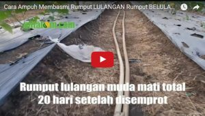 Video Cara Pengendalian RUMPUT LULANGAN (Belulang), Ampuh 100% Mati Total