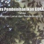 Cara Pembenihan IKAN GURAME (Tahap Pemeliharaan Larva dan Pendederan I, II dan III)