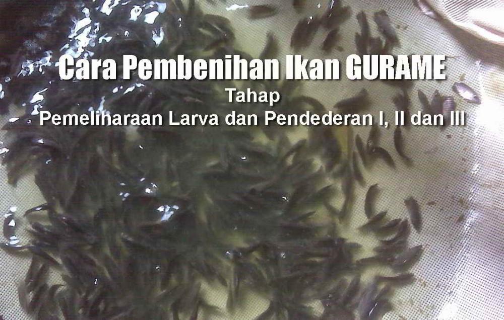 8 Tahap Pendederan Ikan Gurame Dan Pemeliharaan Larva Ikan Gurami