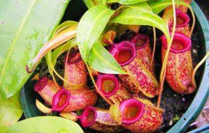 Kantong Semar adalah Tumbuhan Pemakan Serangga yang disebut juga Karnivora