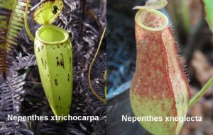 Jenis-jenis KANTONG SEMAR Terpopuler di Sumatera