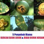 5 Penyebab Utama Daun Jeruk Kuning, Bercak Daun dan Buah Burik Kusam