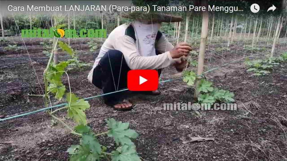 Video Tutorial Membuat Lanjaran Para Para Tanaman Pare Menggunakan Tali Dan Benang