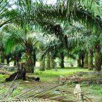 Syarat Tumbuh dan Jenis-jenis Tanah yang Cocok untuk Budidaya Kelapa Sawit