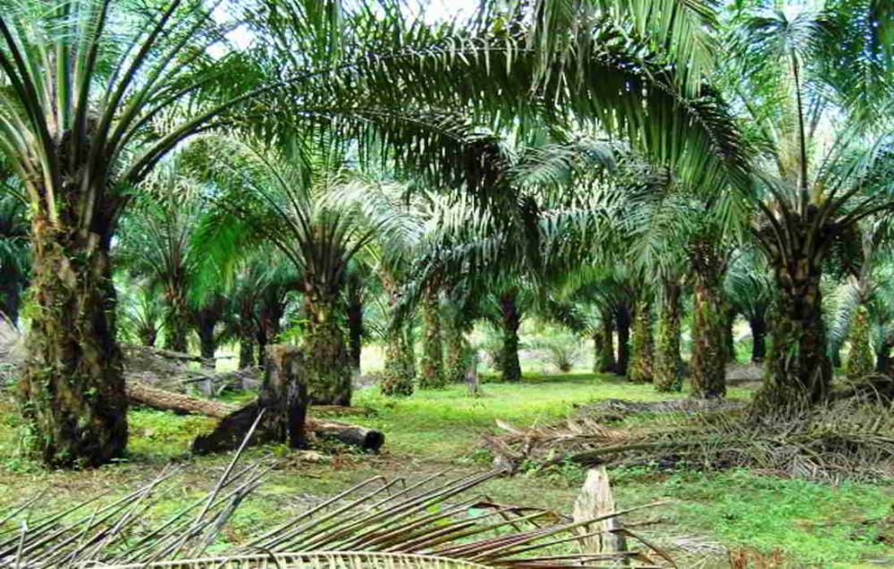 Jenis-jenis Tanah (Lahan) yang Cocok untuk KELAPA SAWIT dan Tidak Cocok Untuk Pertanian