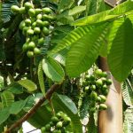 Buah MATOA – Benarkah Pohon Matoa Hanya Bisa Hidup di Papua?